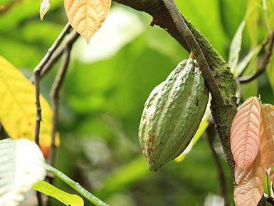 Organic Cacao Pod
