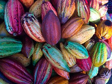 Native Cacao Pods