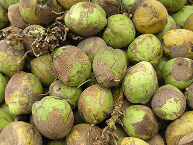 Coconuts sourced from Sri Lanka & Philippines